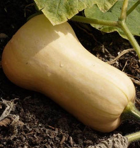 yellow whole butternut squash in the garden