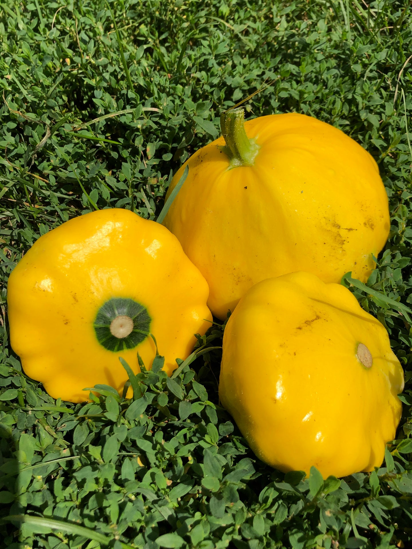 Patty Pan Organic