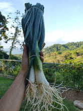 Load image into Gallery viewer, Cebollino (Green Onion) rollo/bunch