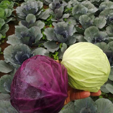 Load image into Gallery viewer, Repollo Morado Orgánico (Purple Cabbage Organic) unidad/unit