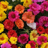 Portulaca - Happy Hour