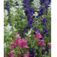 Marble Arch Mix Salvia