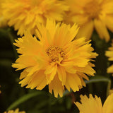 Coreopsis - Double the Sun