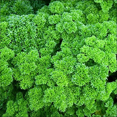 Parsley - Curly