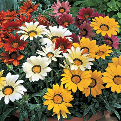 Gazania - Frosty Kiss Mix