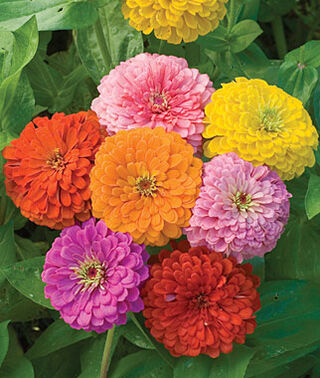 Zinnia 'Giant Dahlia Flowered Mix'