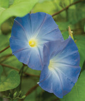 Morning Glory - Heavenly Blue