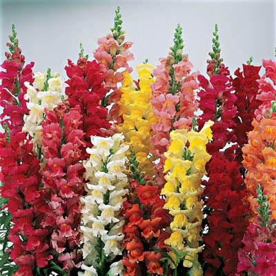Snapdragon - Liberty Classic Mix