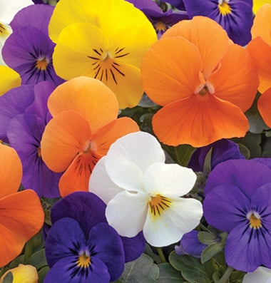 Viola - Penny All Season Mix