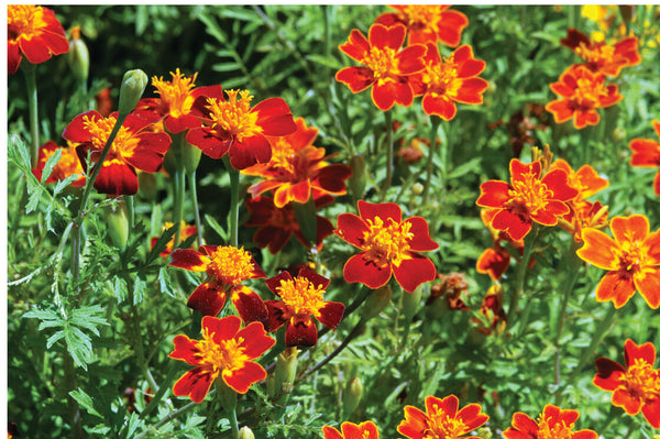 Marigold - Red Gem