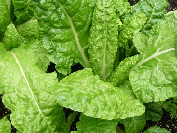 Swiss Chard - Green
