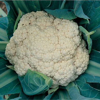 Cauliflower 'Snow Crown'