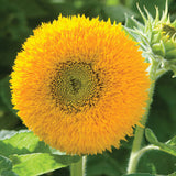 Sunflower - Teddy Bear