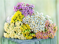 Yarrow Colorado Mix
