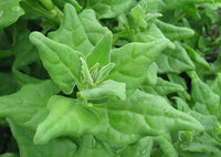 Tetragonia (New Zealand Spinach)