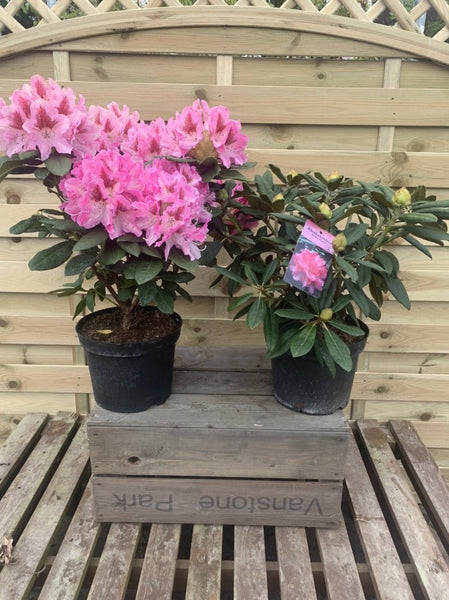 Rhododendrons hybrid 2 for £25