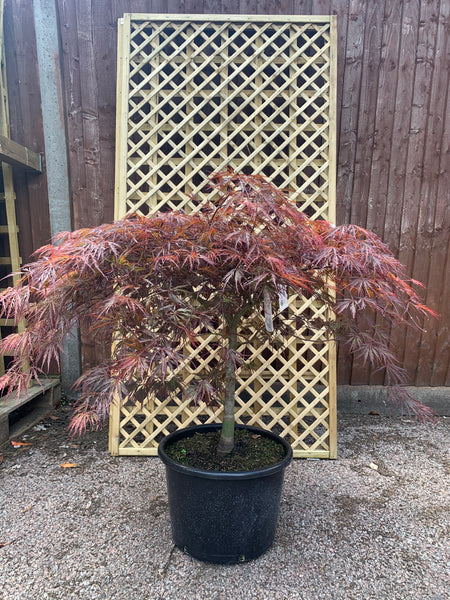 Large Acer Palmatum 'Crimson Queen'