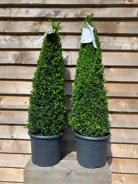 Buxus Pyramid 2 FOR £55