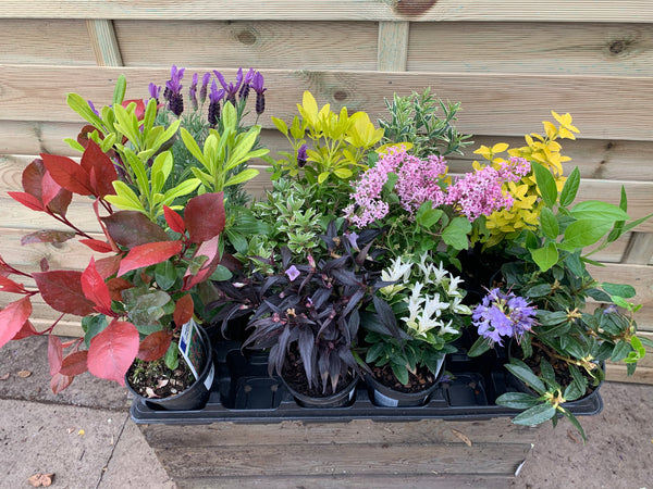 12 Mixed 10cm Starter Shrubs