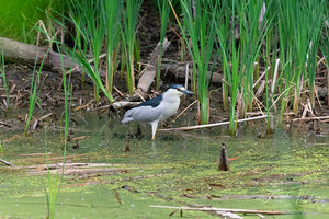 Black-crowned Night Heron in Wetlands Fine Art Print