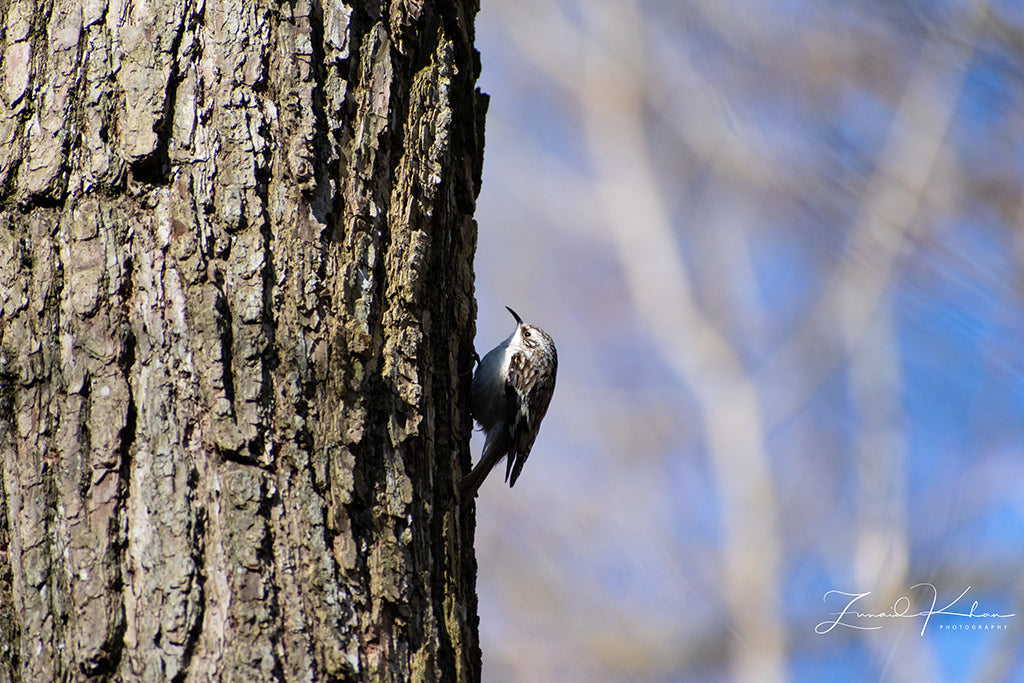 Brown Creeper Fine Art Print