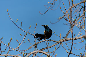 Common Grackle Fine Art Print