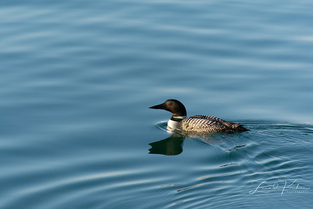 Common Loon Reflection Fine Art Print