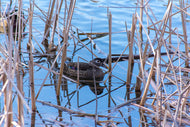 Female Wood Duck in Rushes Fine Art Print