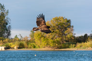 Golden Eagle in Flight Fine Art Print