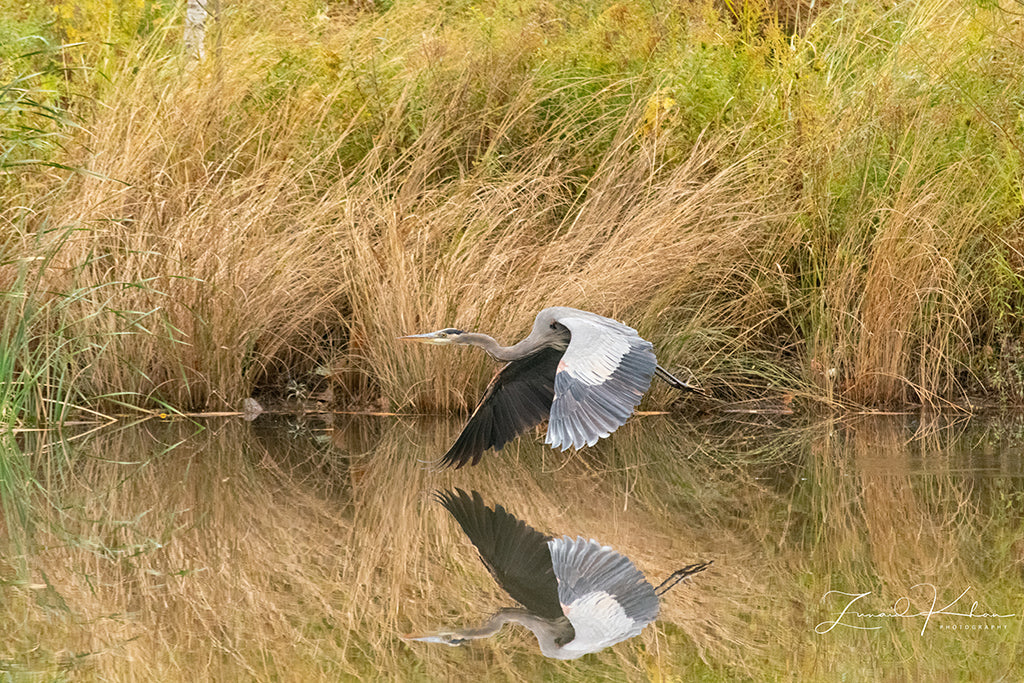 Great Blue Heron in Flight Fine Art Print