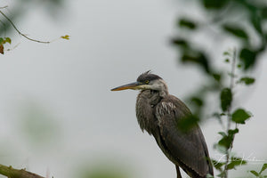 Great Blue Heron Perched Fine Art Print