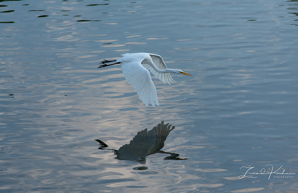 Great Egret in Flight Fine Art Print