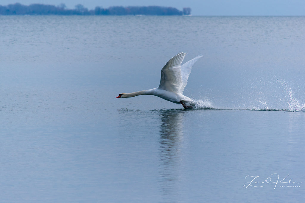 Mute Swan Take Off Fine Art Print