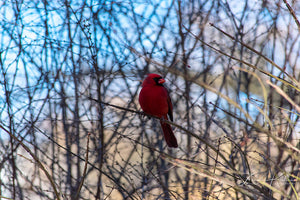North Cardinal Fine Art Print