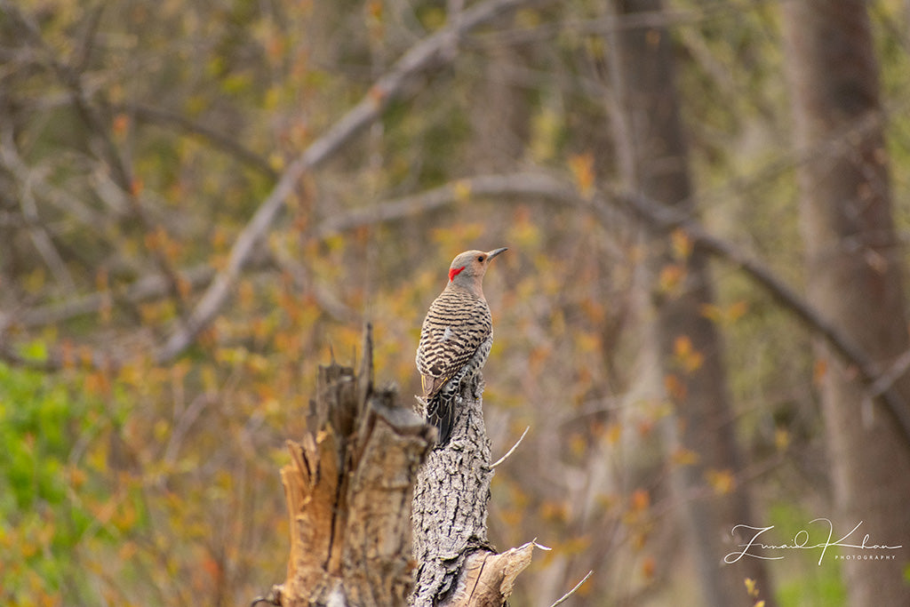 Northern Flicker Fine Art Print