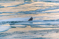 Snowy Owl on Ice Fine Art Print