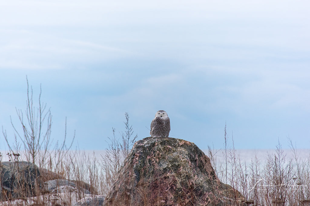 Snowy Owl Rock Perch Fine Art Print