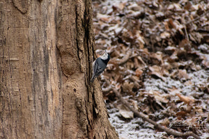 White-breasted Nuthatch Fine Art Print