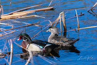 Wood Duck Couple Fine Art Print