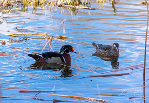 Wood Duck Couple II Fine Art Print