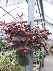 "Begonia Angel Wing 10"" HB"