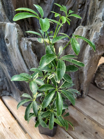"Schefflera Variegated 3"" Pot"