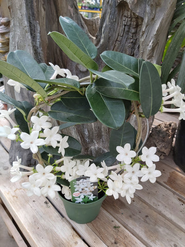 "Stephanotis on Trellis 5"" Pot"