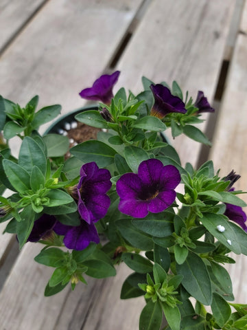"Calibrachoa ""Million Bells"" Dark Purple 4"" Pot"