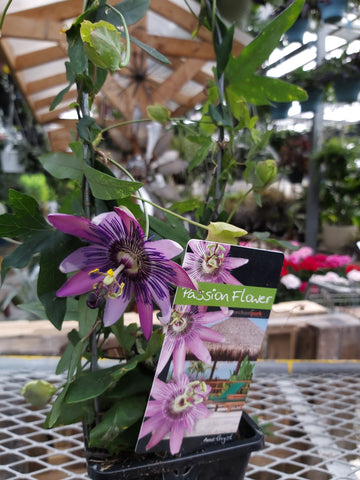 "Passion Flower w/Trellis 5"" Pot"