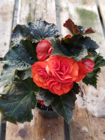 "Begonia Garden Orange 4"" Pot"