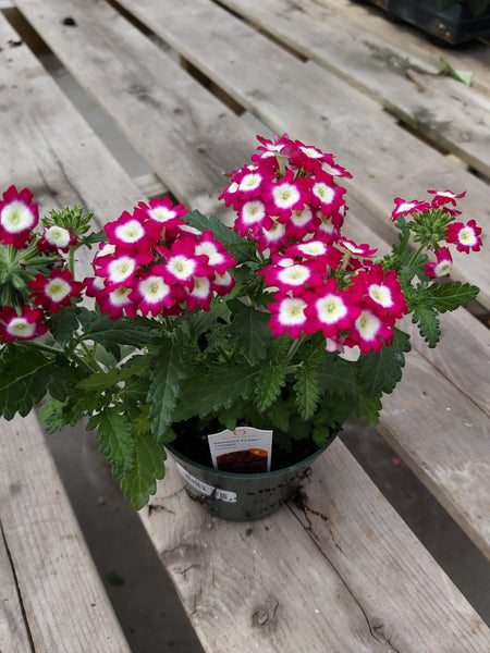 "Verbena - Cherry 4"" Pot"