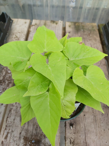 "Potato Vine Marguerite Lime 4"" Pot"