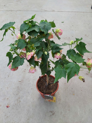"Abutilon Standard Assorted Colors 7.5"" Pot"