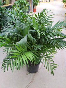 "Neanthe Bella Palm 10"" Pot"